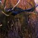 Bull Moose During Rut