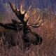 Bull Moose Charges