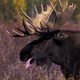 Bull Moose Charges 3