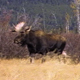 Bull Moose Charges 4