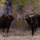 Moose Fight