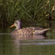 Female Mallard Ducks - VideoHive Item for Sale