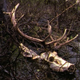 Elk Skull and Rack 2 - VideoHive Item for Sale