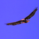 Red Tailed Hawk Soaring 2 - VideoHive Item for Sale