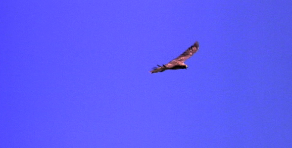 Red Tailed Hawk Soaring 3