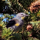 Yellow Rumped Warbler in Pine Tree - VideoHive Item for Sale