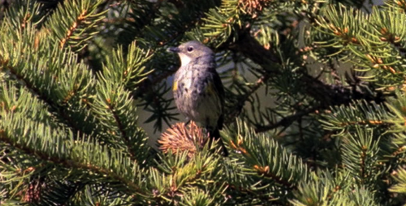 Yellow Rumped Warbler in Pine Tree 2