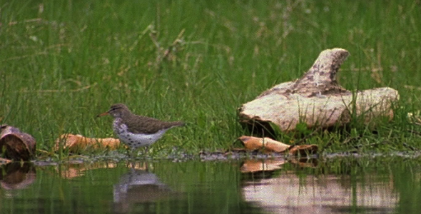 Spotted Sandpiper at Waters Edge