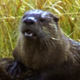 Family of Otters - VideoHive Item for Sale