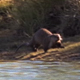 River Otter Goes for a Dip - VideoHive Item for Sale