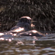 Otters Splashing in River - VideoHive Item for Sale