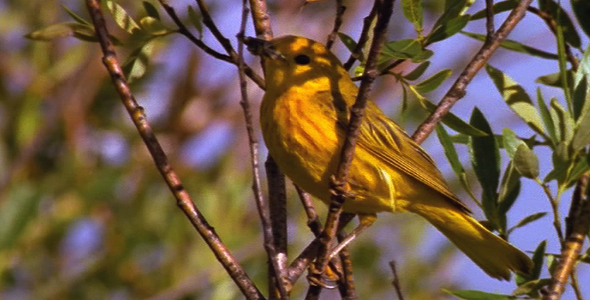 Yellow Warbler With Insect