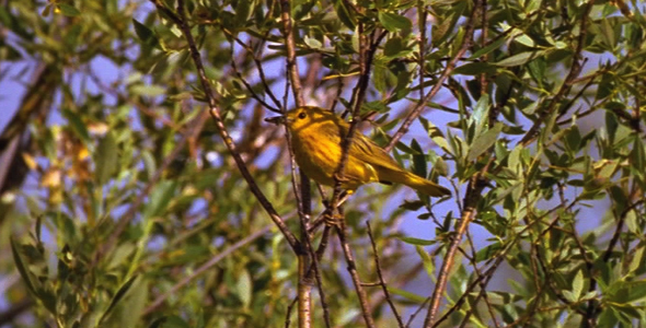 Yellow Warbler With Insect 3