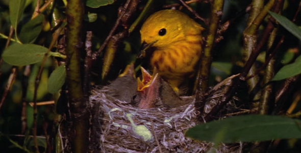 Warbler Feeding Chicks in Nest 2
