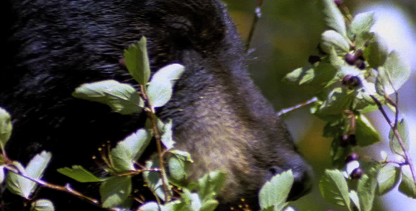 Black Bear Eating Berries 3