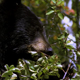Black Bear Eating Berries 4 - VideoHive Item for Sale