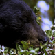 Black Bear Eating Berries 6 - VideoHive Item for Sale
