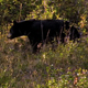 Black Bear Walking - VideoHive Item for Sale