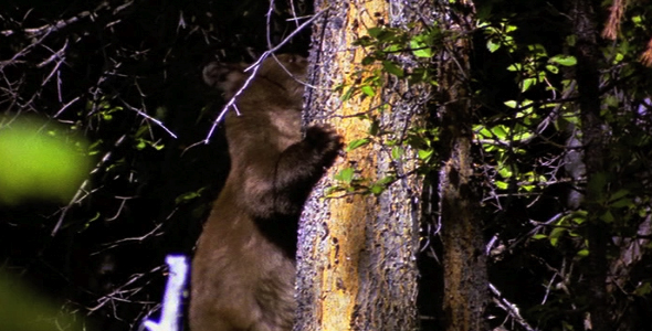 Bear Climbing Down Tree