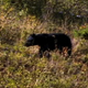 Black Bear Walking 2 - VideoHive Item for Sale