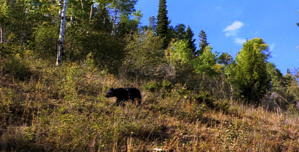 Black Bear Walking 2