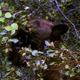 Bear Cub Eating Berries - VideoHive Item for Sale