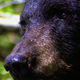 Profile of Adult Black Bear - VideoHive Item for Sale