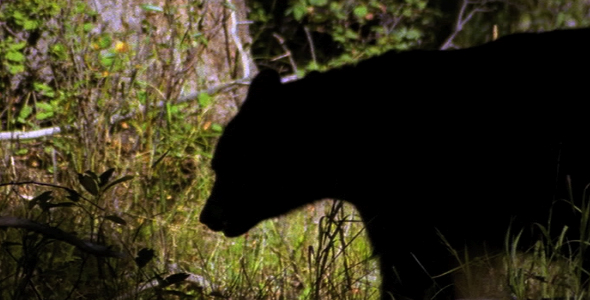 Profile of Adult Black Bear 2