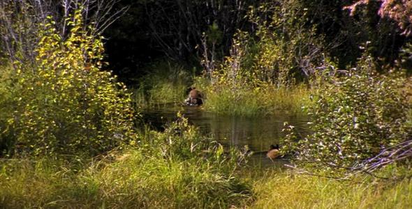 Two Bears Cross a Marsh