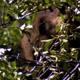 Black Bear Cub Eating Berries