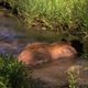 Black Bear Cooling off in Stream