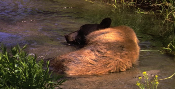 Black Bear Cooling off in Stream 2