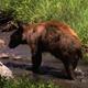 Black Bear Leaving Stream