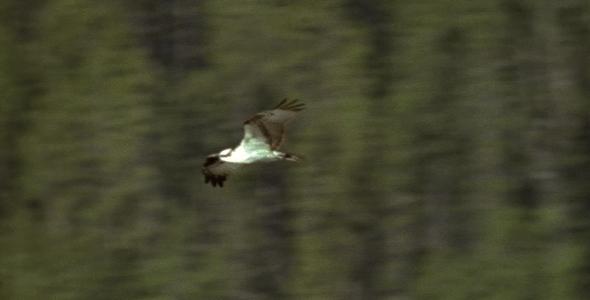 Osprey Flying Over Pond