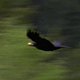 Raven Flying With Egg - VideoHive Item for Sale