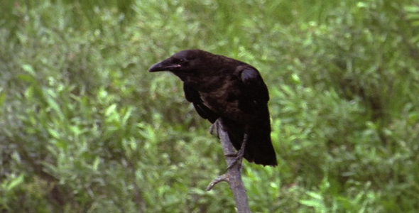 Raven Perched on Stick