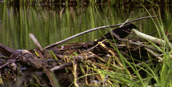 [VideoHive 1582782] Brewer's Blackbird on Beaver Dam | Stock Footage