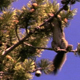 Douglas Squirrel in Pine Tree - VideoHive Item for Sale