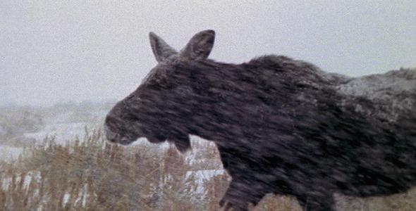 Moose in Blizzard