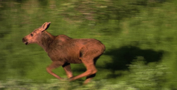 Moose Calf on the Run