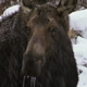 Moose Eating Aquatic Plants - VideoHive Item for Sale