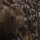 Moose Eats Thistle in Winter - VideoHive Item for Sale