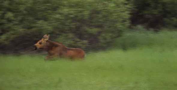 Baby Moose Tries to Play With Mom