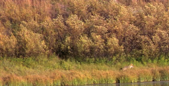 Coyote Next to Duck Pond