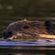 Close up of Beaver with Tree - VideoHive Item for Sale
