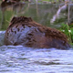 Beaver with Greenery - VideoHive Item for Sale