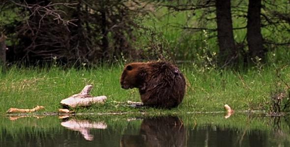 Download Beaver Preening nulled download