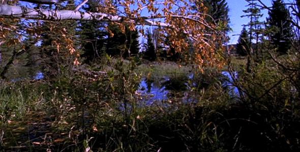 Quaking Aspen 0 Beaver 1