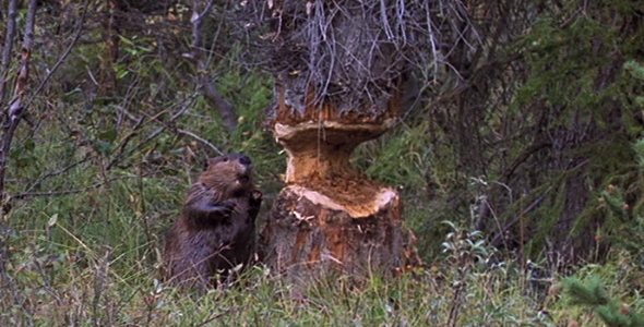 Stock Footage - Beaver Chewing Tree 4 | VideoHive