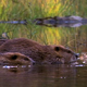 Beaver Family 2 - VideoHive Item for Sale